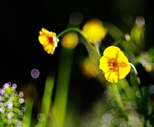 Жёлтые на зелёном #цветы #closeup