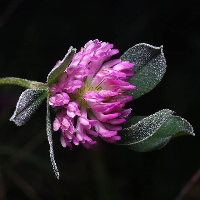 Клевер #псков #макро #цветы #мороз #осень #macro #macrophotography #autumn #flowers #frost