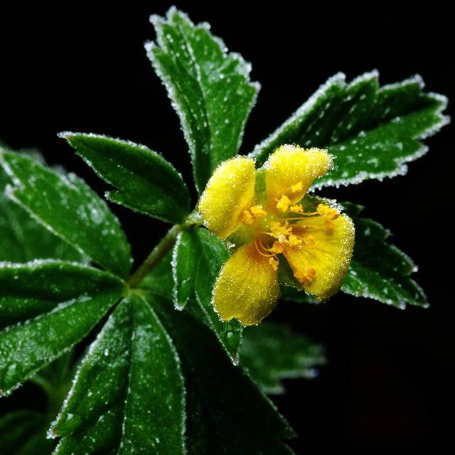 Последние жёлтые цветы #псков #макро #цветы #мороз #осень