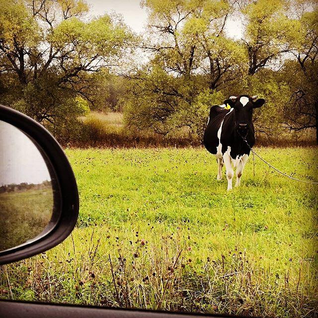 До следующей весны... #корова #деревня #вязье  #дубня #осень