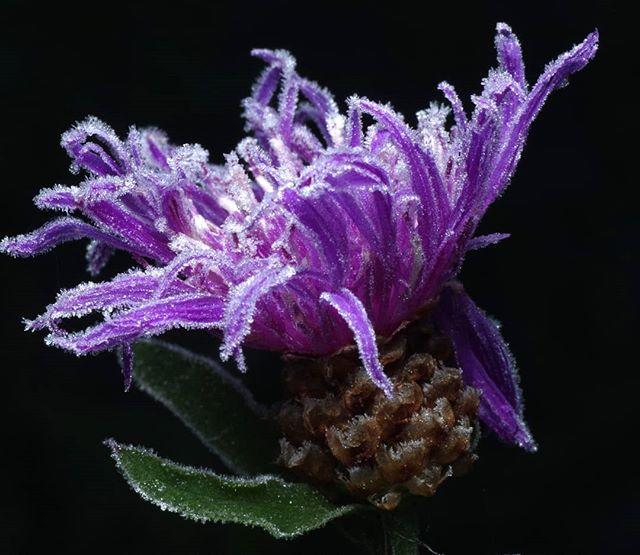 Последние цветы #псков #цветы #макро #мороз