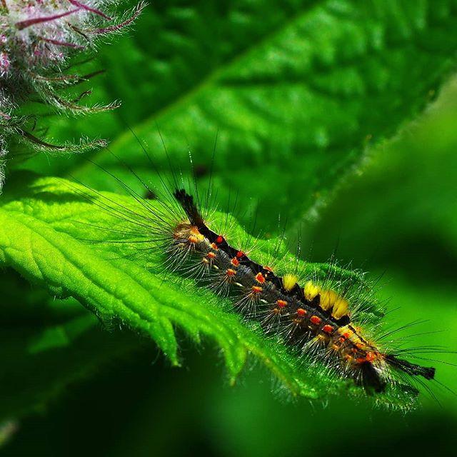 Гусеница златогузки #макро #макросъемка #гусеница #macro #macrophotography #macrophoto #closeups #closeup #зеленый #природа #мята #nature