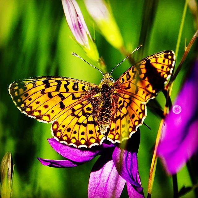 Перламутровка #макро #макросъемка #бабочки #бабочка #природа #closeup #macro #macrophotography #nature #butterfly #pskov #псков