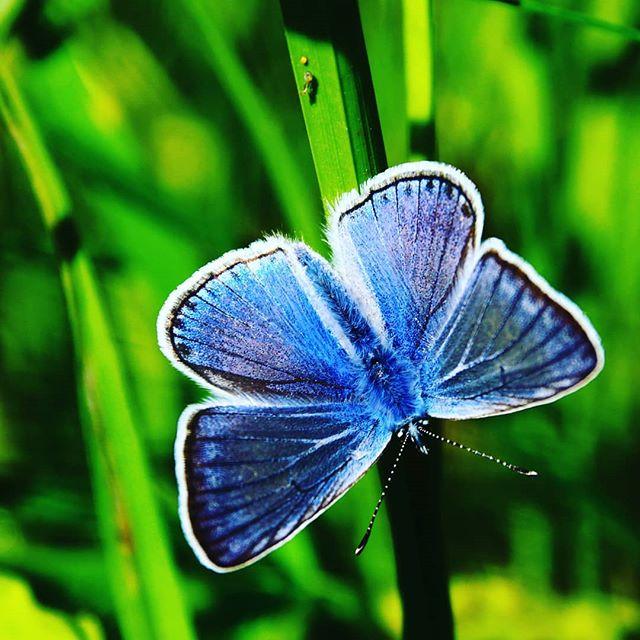 Голубянка #природа #бабочки #бабочка #макро #butterfly #nature #naturephotography #macro #macrophotography #closeup #closeups