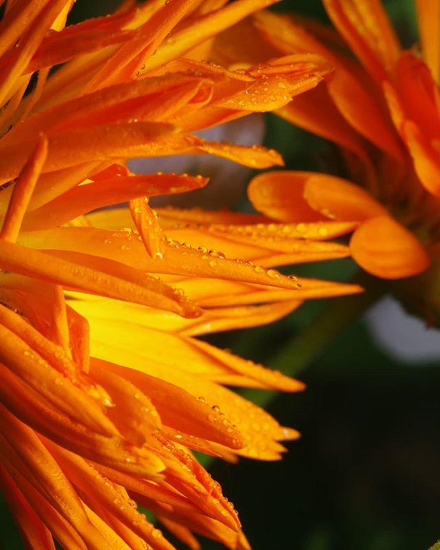 #псков #макро #макросъемка #цветы #капли #природа #flowers #macro #drops #macrophotography #macrophoto #nature #цветы #closeup #closeups