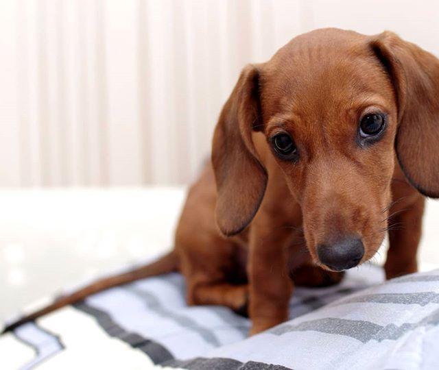 Ася #собаки #такса #собака #псков #щенки #dog #dogs @dnemtseva