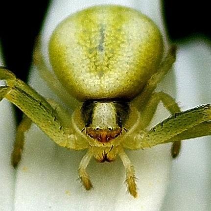 Паук краб ждёт добычу #псков #макро #макросъемка #макрофото #пауки #природа #macro #macrophotography #macrophoto #closeups #nature #spider