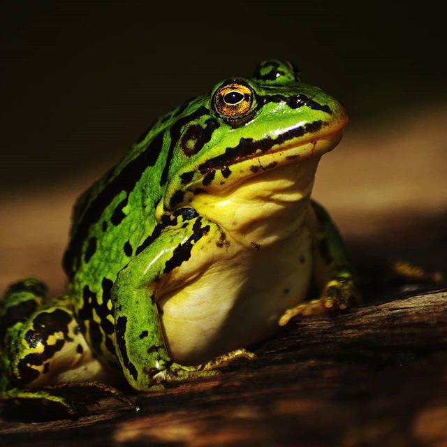 Прудовая лягушка #макрофото #макро #макросъемка #крупнымпланом #природа #псков #nature #pskov #macro #macrophotography #closeups #closeup #frog #pelophylax_lessonae