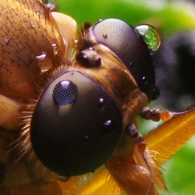 Капли на глазах #псков #макро #макросъемка #макрофото #крупнымпланом #насекомые #муха #мухи  #природа #капли #роса #macro #macrophotography #macrophoto #closeups #closeup #insect #insects #nature #drops #dew