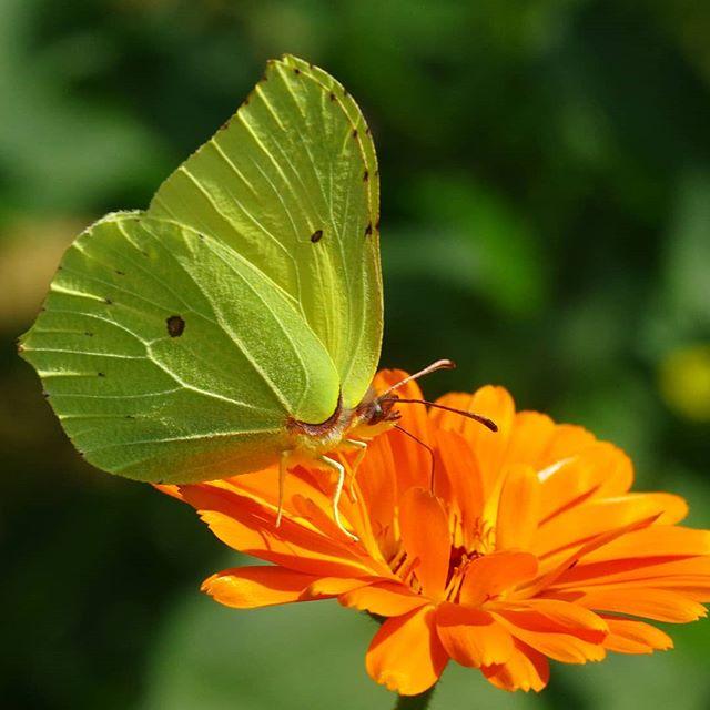 Лимонница на календуле #бабочки #бабочка #природа #цветы #макро #макросъемка #макрофото #псков #pskov #nature #butterfly #macro #macrophoto #macrophotography #flowers #closeup #closeups