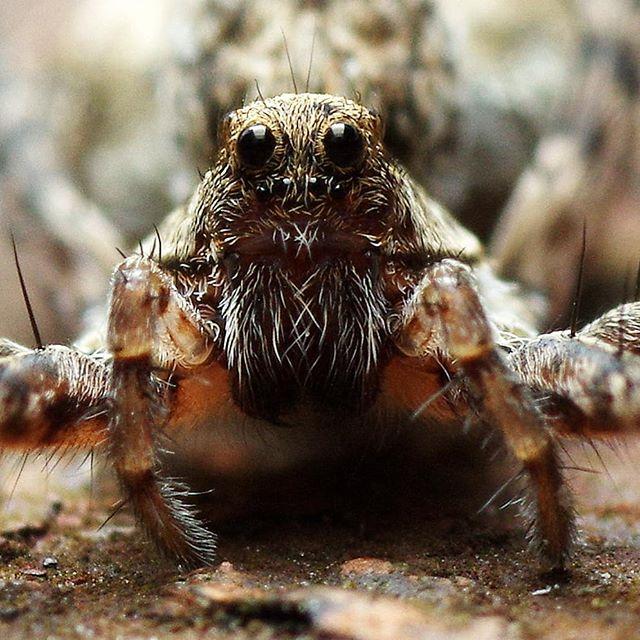 #псков #макро #макросъемка #пауки #крупнымпланом #природа #macro #macrophotography #macrophoto #closeups #closeup #nature #pskov #spider #like4follow #fan #follow4followback