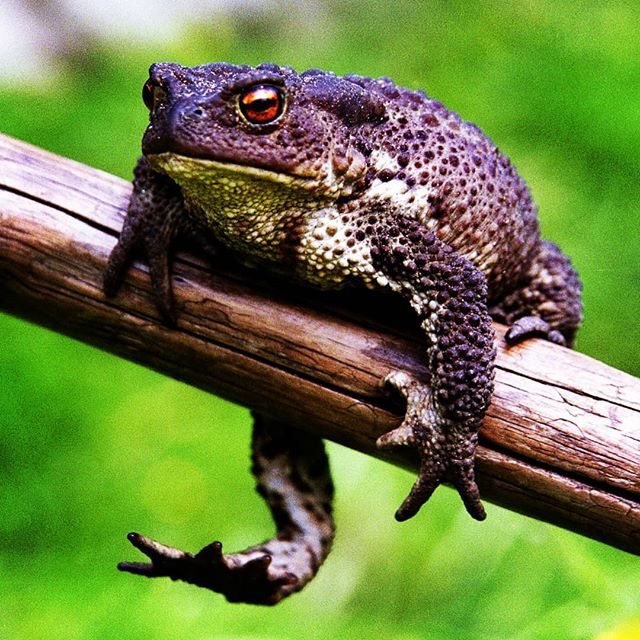 Жаба #макро #крупнымпланом #жаба #природа #macro #nature #closeup #film #toad