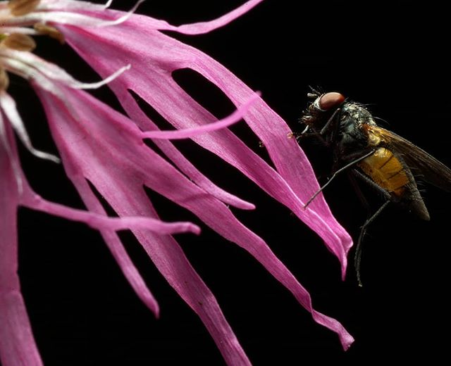 Муха на луговом васильке #псков #макро #мухи #макросъемка #макрофото #цветы #природа #василеклуговой #pskov #nature #macro #macrophotography #macrophoto #fly #flies