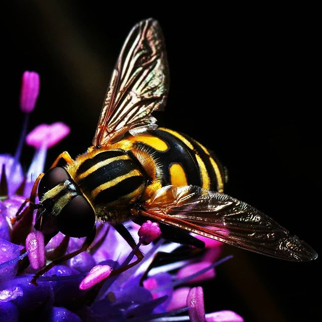 Журчалка #псков #макро #природа #насекомые #macro #insects #nature #pskov #picoftheday