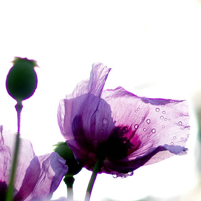 Маки #псков #макро #цветы #маки #природа #капли #flowers #macro #drops #nature