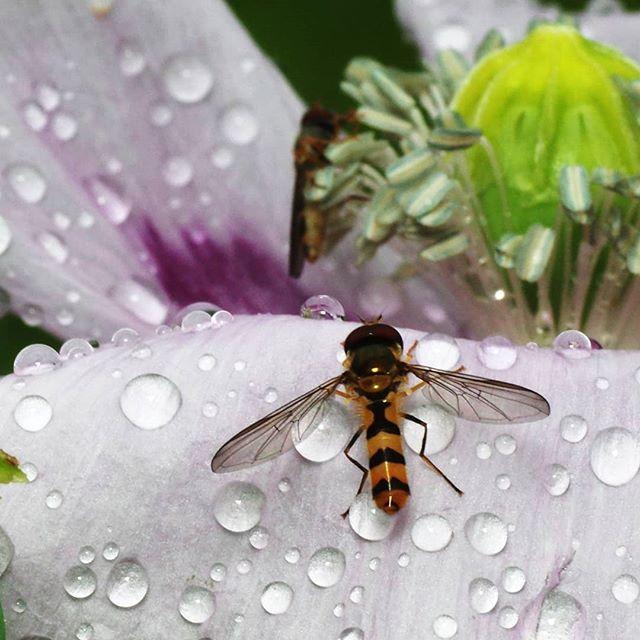 Журчалка на маке #маки #мак #журчалка #макрофото #макро #макросъемка #крупнымпланом #природа #macro #macrophotography #macrophoto #flowers #цветы #nature #closeup #closeups #drops #капли #роса