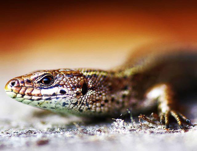 Ящерка #псков #макро #крупнымпланом #природа #ящерица #macro #nature #picoftheday