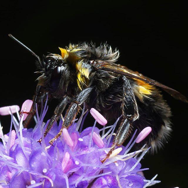 Мокрый шмель. #псков #макрофото #макро #крупнымпланом #природа #шмель #цветы #macro #macrophotography #closeup #nature #красота #bumblebee