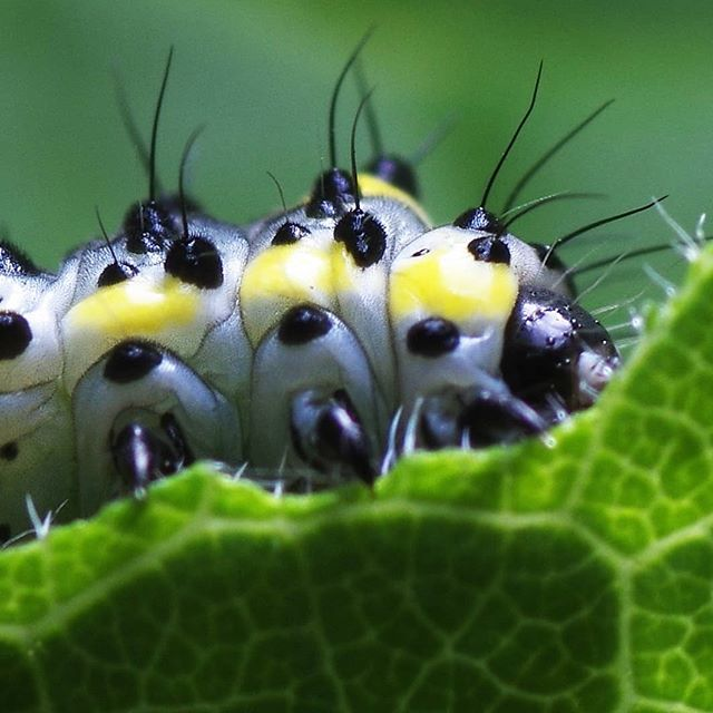 #гусеница #псков #макро #природа #крупнымпланом #macro #macrophoto #nature #closeup
