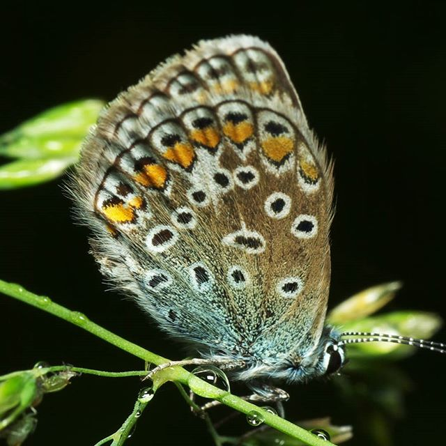 #бабочки #бабочка #природа #роса #капли #macro #macrophotography #nature #butterfly #dew #drops #макро